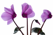Cyclamen Photos - Pretty Pink Cyclamen. by Terence Davis