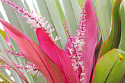Cordyline Framed Prints - Pretty Pink in Key West Framed Print by Simply  Photos