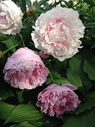 Everything Originals - Pretty Pink Peonies  by Elisabeth Ann