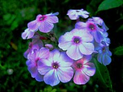 Kitchen Photos Prints - Pretty Pink Phlox Print by Will Boutin Photos