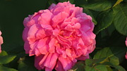 Everything Originals - Pretty Pink Rose In Golden Hour by Elisabeth Ann