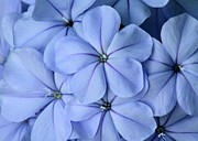 Pretty Plumbago Print by Sabrina L Ryan
