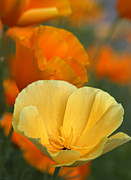 Terry Cervi - Pretty Poppies