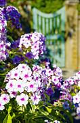 Marilyn Wilson - Pretty Purple Phlox
