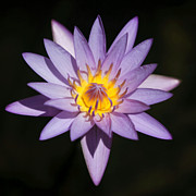 Sabrina L Ryan - Pretty Purple Water Lily Squared