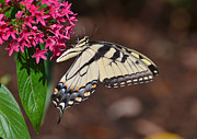 Kathy Baccari - Pretty Swallowtail On...