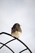 Trellis Posters - Pretty Winter Junco Poster by Christina Rollo
