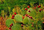 Bonnie Willis - Prickly Pear Cactus