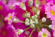 Hope Metal Prints - Primrose Spring Metal Print by Rebecca Cozart