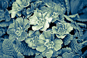 Primroses Prints - Primroses in Blue Print by Ronda Broatch