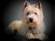 Photographs Mixed Media - Princess Phoebe - West Highland White Terrier by Photography Moments - Sandi