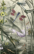 Predaceous Prints - Print Of Dragonflies And Pond  Print by Robert Jensen