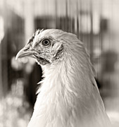 Poultry Photos - Prize Winning Hen by Edward Fielding