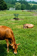 Prize Winning Jersey Cows At Billings Marsh Rockefeller National Historic Park Woodstock Vermont Print by Robert Ford