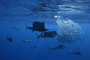 Sail Fish Metal Prints - Prized Sail Fish Gamefish School Hunting Baitfish In Open Ocean Metal Print by Brandon Cole