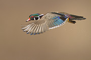 Probably The Most Beautiful Of All Duck Species Print by Mircea Costina Photography