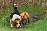Funny Animals Prints - Probably the Worlds Worst Hunting Dog Print by Mircea Costina Photography