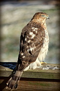 Rosanne Jordan - Profile of a Coopers Hawk