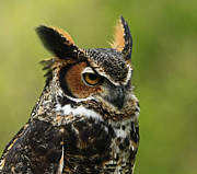 Shelley Myke Art - Profile of a Great Horned Owl by Inspired Nature Photography By Shelley Myke