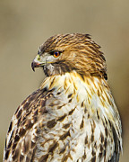 Red Tail Hawk Art - Profile of Intensity by John Vose