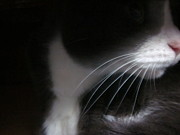 Photography Of Cats Prints - Profile of Morty Print by Guy Ricketts