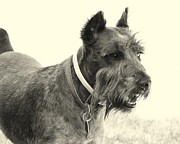 Schnauzer Art Photos - Profile View by Mickey Harkins