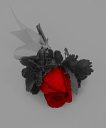 Justin Woodhouse Metal Prints - Prominent Red Rose Metal Print by Justin Woodhouse