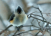 Titmouse Photo Originals - Promise of Spring by Robert DeFosses