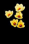 Yellow Crocus Framed Prints - Promise Framed Print by Rebecca Cozart
