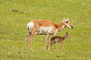Natural Focal Point Photography - Pronghorn Calf and Mom