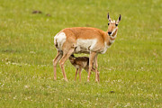 Natural Focal Point Photography - Pronghorn Calf Feeding