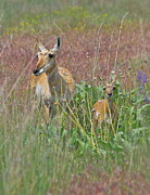 Pronghorn Framed Prints - Pronghorn Doe and Fawn Framed Print by Karon Melillo DeVega