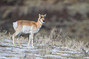 Doug Oglesby Acrylic Prints - Pronghorn Acrylic Print by Doug Oglesby