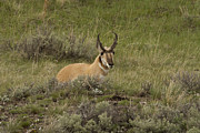 Jack R Perry - Pronghorn Male