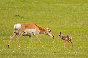 Natural Focal Point Photography - Pronghorn Mother