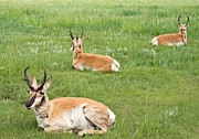 All - Pronghorns by Jaci Harmsen