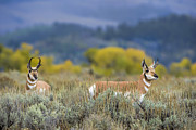 Pronghorn Framed Prints - Pronghorns of the Teton Range Framed Print by Paul W Sharpe Aka Wizard of Wonders