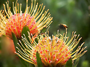 Wild Ceramics Metal Prints - Protea Flowers Attracting Bee  Metal Print by Alexandra Jordankova