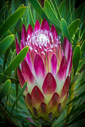 Kate Brown Metal Prints - Protea in Pink Metal Print by Kate Brown