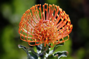 Feathered Metal Prints - Protea - One of the Oldest Flowers on Earth Metal Print by Christine Till