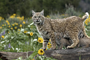 Bobcat And Kittens Prints - Protection Print by Robert Weiman