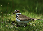 Killdeer Metal Prints - Protective Killdeer.. Metal Print by Nina Stavlund