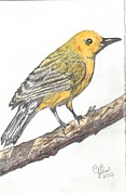 Warbler Drawings Metal Prints - Prothonotary Warbler Metal Print by Chris Bajon Jones