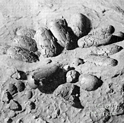 Protoceratops Eggs Cretaceous Dinosaur Print by Science Source