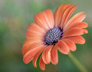 Peach Flower Framed Prints - Proud African Daisy Framed Print by David and Carol Kelly
