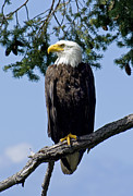 Nature Study Photo Prints - Proud Bald Eagle Print by Derek Holzapfel