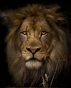 Lion Prints - Proud Print by Cheri McEachin
