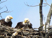 American Eagle Photos - Proud Eagles with Eaglet by Mitch Spillane