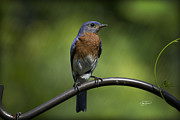 Proud Eastern Bluebird  Print by Cris Hayes