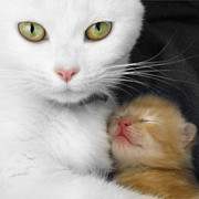 Kitten Prints Digital Art Posters - Proud Mother Poster by Jo Collins